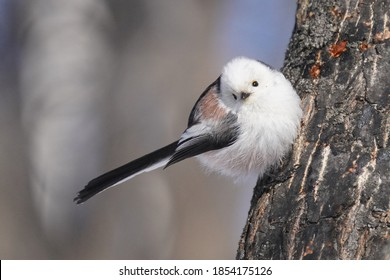 long tailed tit in winter