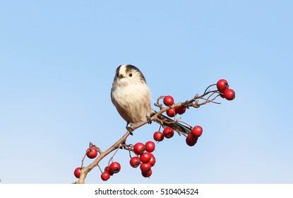 Long tailed tits on hawthorne