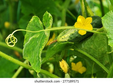 long tendril of cucumber and its flower