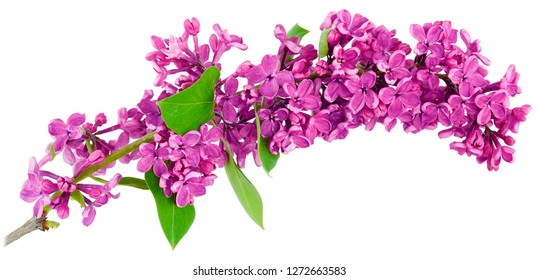 A long thin branch of purple lilac is the only close-up isolated on a white background.
