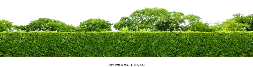 Long tree hedge or fence trees in panoramic shot. Many big trees in the background. All of the upper part and lower part isolated on white background.