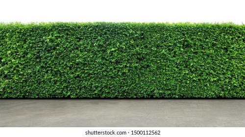 Long tree hedge or fence trees with cement floor in foreground. The upper part isolated on white background.