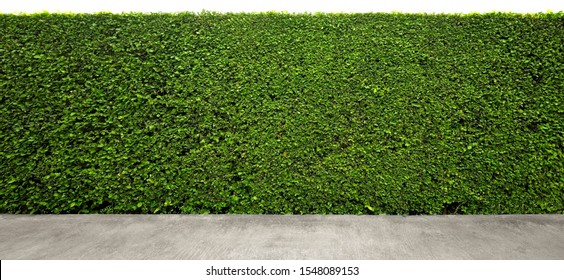 Long tree hedges or fence trees with rough cement floor in foreground.  The upper part isolated on white background.