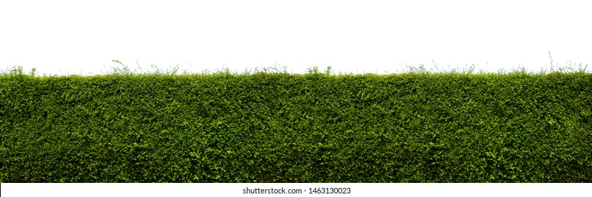 Long tree hedges or green leaves wall isolated on white background