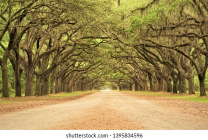 A long tunnel roadway leading through the property of Wormsloe is lined with ancient LIVE OAK TREES cover with Spanish moss, Live Oak Avenue and Entrance Gate , Spring in Savannah, Georgia USA.