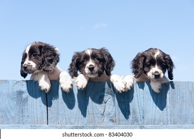 Its a long way down-Three pretty little lookalike puppies looking over a wooden fence realising that there is a big drop on the other side!