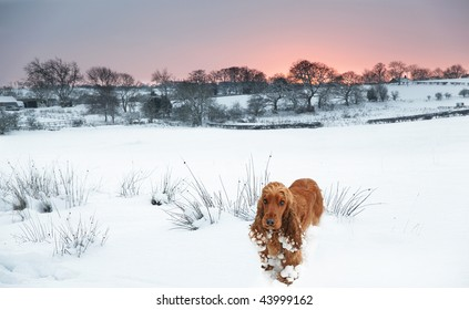 long way from Home, lost Cocker Spaniel in the deep Snow as the Sunsets