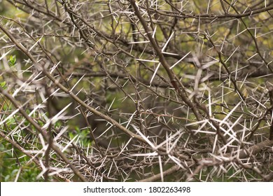 Long White Thorn Tree Branches  - Shutterstock ID 1802263498