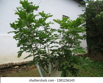 Longan (also called kelengkeng, cat's eye, longan, [citation needed] Dimocarpus longan, lerak-lerakan tribe or Sapindaceae) is a fruit plant originating from mainland Southeast Asia