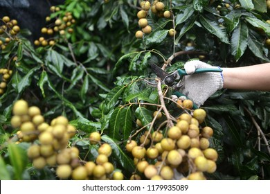 Longan farmers are harvesting longan fruit from longan tree.