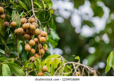 Longan farmers planted longan for export and quality control in the use of chemicals to eliminate insects and to increase the yield of longan to produce enough to meet the needs of the market.