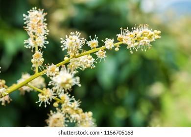 Longan Flower in the garden