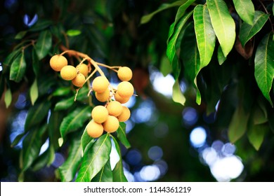 Longan fresh on longan tree
