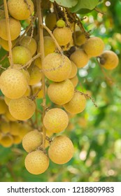 Longan fresh on longan tree, Tropical fruits young longan in Thailand.