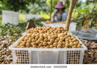 Longan fruit harvesting