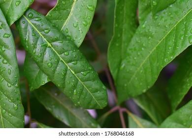 Longan-Blätter und Wassertropfen bei selektivem Regentag-Fokus
