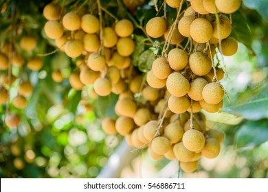 Longan orchards - Tropical fruits beautiful longan in Lamphun, Thailand