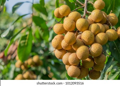 Longan orchards - Tropical fruits young longan in Thailand