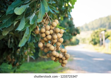 Longan orchards - Tropical fruits young longan in Lamphun, Thailand.