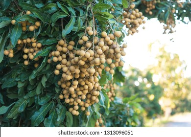 Longan orchards - Tropical fruits young longan in Lamphun, Thailand.