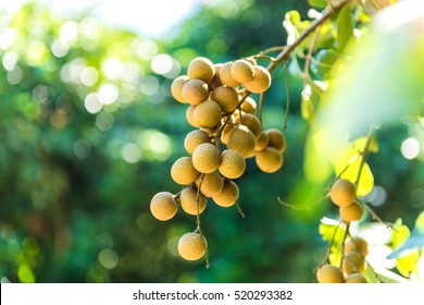 Longan orchards - Tropical fruits young longan in Lamphun, Thailand