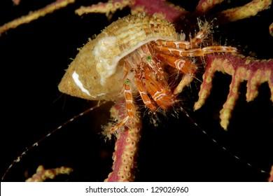 Long-armed hermit crab (Pagurus anachoretus) on sea fan gorgonian in Lagos, Algarve, Portugal