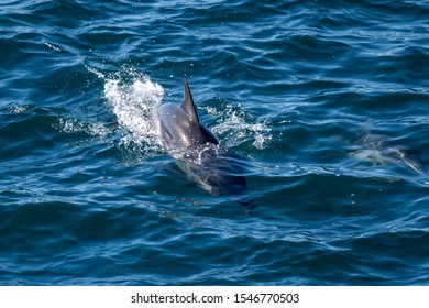 Long-beaked common dolphin (Delphinus capensis) off the coast of Baja California, Mexico.
