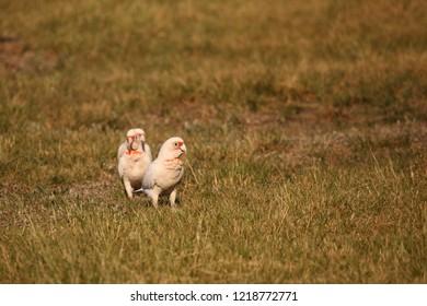 Long-billed Corellas feeding on grass