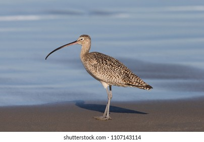 Long-billed Curlew on California Beach