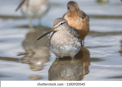 Long-billed dowitcher bird at Vancouver BC Canada