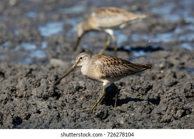 Long-billed dowitcher at Richmond BC Canada 2017 Sep.