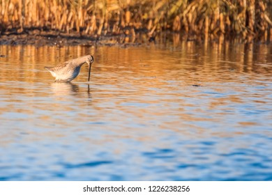 Long-billed Dowitcher standing in shallow water posed to strike at lunch