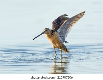 A long-billed dowitcher stretches its wings upward while wading in a shallow pond.