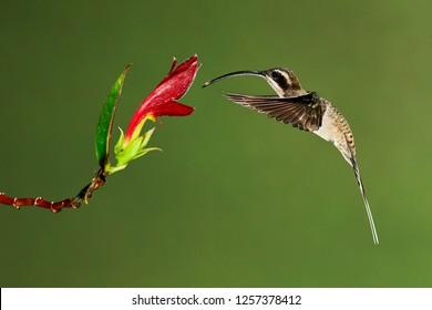 The long-billed hermit (Phaethornis longirostris) photographed in Costa Rica. Wildlife scene form rain forest. Hummingbird suck nectar from flower.