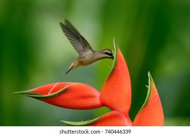 Long-billed Hermit, Phaethornis longirostris, rare hummingbird from Belize. Flying bird with red flower. Action wildlife scene from tropical forest. Red heliconia with bird.