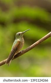 Long-billed Starthroat Hummingbird - On a Perch
