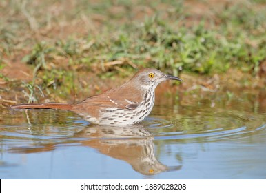 Long-billed thrasher (Toxostoma longirostre) bathing, South Texas, USA