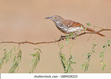 Long-billed thrasher (Toxostoma longirostre) perched, South Texas, USA