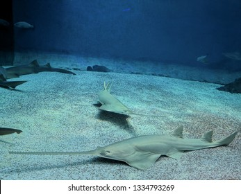 Longcomb sawfish is now considered a critically endangered species