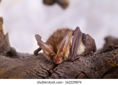 Long-eared bat (Plecotus auritus) isolated on white-gorgeous natural sonar. Bat close up on bark background. Leathery wings, large transparent ears and nasty face to inspire superstitious dread-devil