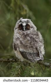 Long-eared Owl (Asio otus) chick, juvenile bird