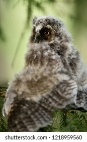 Long-eared Owl (Asio otus) chick on a tree