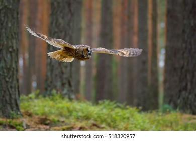 Long-eared Owl (Asio otus) flayng between trees in forest