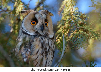 long-eared owl (Asio otus) in iwinter plumage in natural habitat
