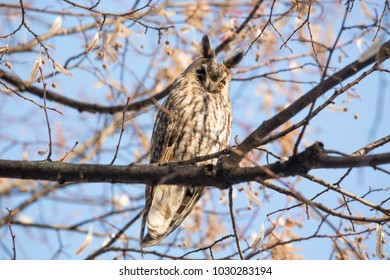 The long-eared owl (Asio otus), also known as the northern long-eared owl, is a species of owl which breeds in Europe, Asia, and North America.