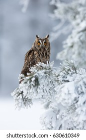 Long-eared owl (Asio otus), also known as the northern long-eared owl, is a species of owl which breeds in Europe, Asia, and North America. Taken in Central Europe