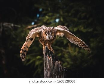 Long-eared owl (Asio otus) landing on dry tree. Beautiful owl with orange eyes portrait. Dark background. Long-eared owl in dark forest.