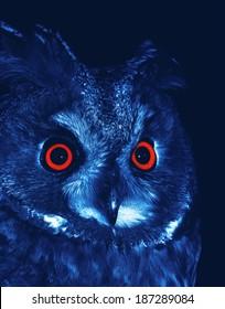 Long-eared Owl (Asio otus) at night