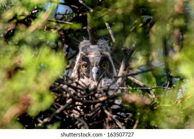 Long-eared Owl (Asio otus) Owlet in nest on a tree