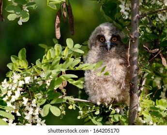 Long-eared Owl (Asio otus) Owlet on tree branch